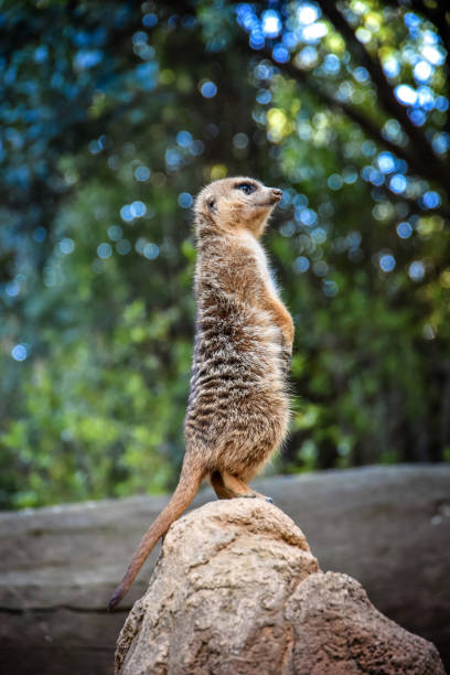Small meerkat standing on the end of a rock stock photo
