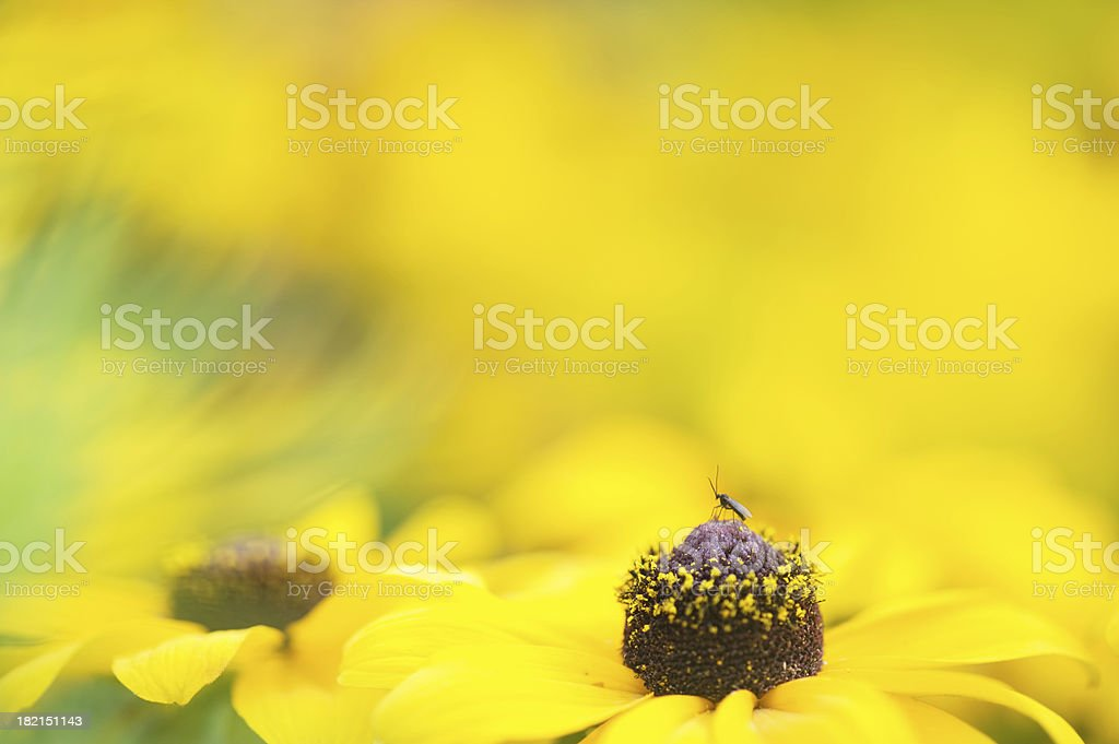 Small midge on a Black-eyed susan flower stock photo