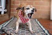 istock Small mixed breed dog barking at carpet 1207792054