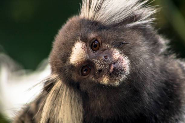 Small monkey  in an area of Atlantic Forest, in Sao Paulo Small monkey popularly known as White-Tailed Sagittarius, Callithrix jacchus, in an area of Atlantic Forest in the neighborhood of Intrerlagos,  south of Sao Paulo marmoset stock pictures, royalty-free photos & images