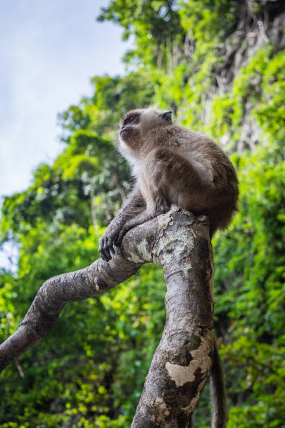 Small monkey sitting on a tree branch on a Monkey Beach in Thailand, green trees and blue sky in the background – zdjęcie