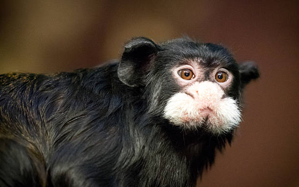 Small monkey with white face stock photo