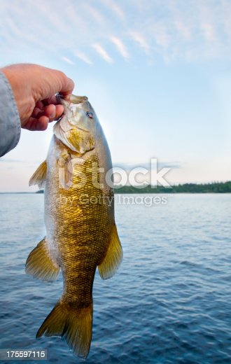 139888169 istock photo Small mouth Bass 175597115