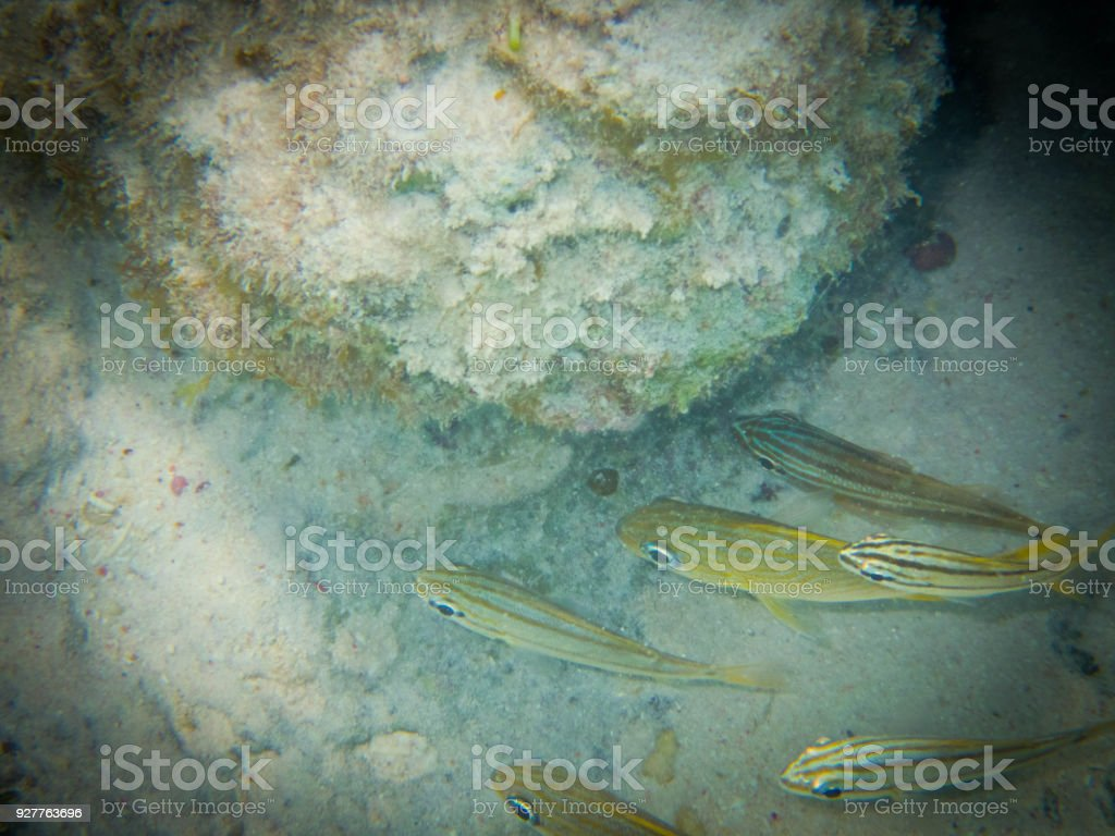 Small mouth grunt shoal stock photo