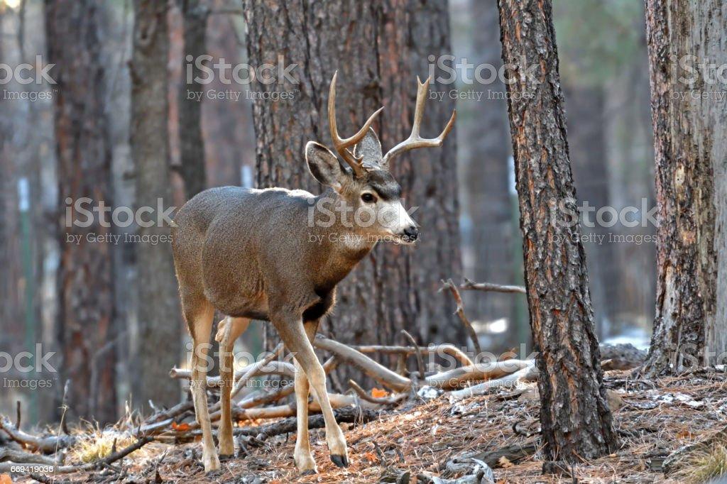 Small mule deer buck.  Flagstaff, Arizona stock photo