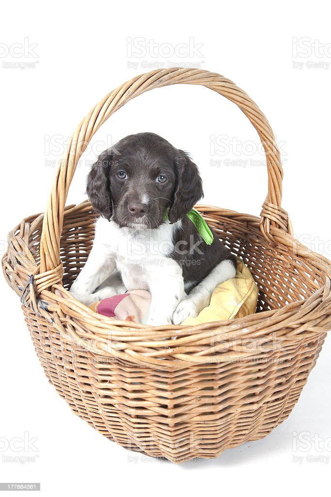 Small Munsterlander puppy in wicker basket stock photo