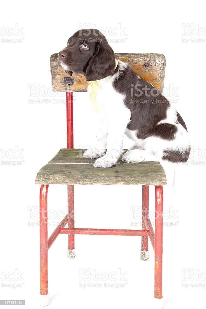 Small Munsterlander puppy on chair stock photo
