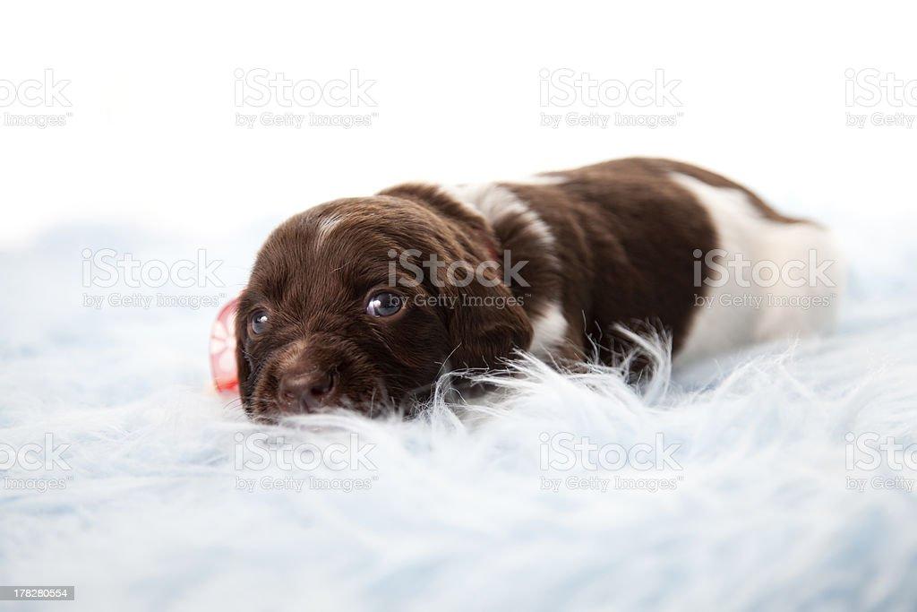 Small Munsterlander puppy stock photo