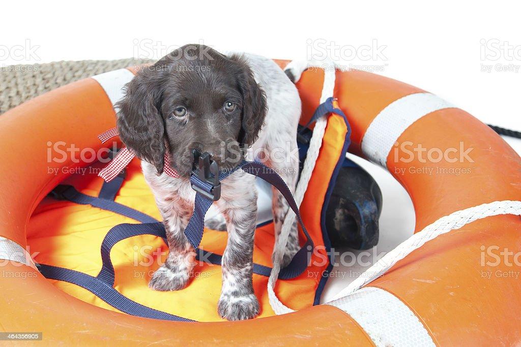 Small Munsterlander puppy royalty-free stock photo