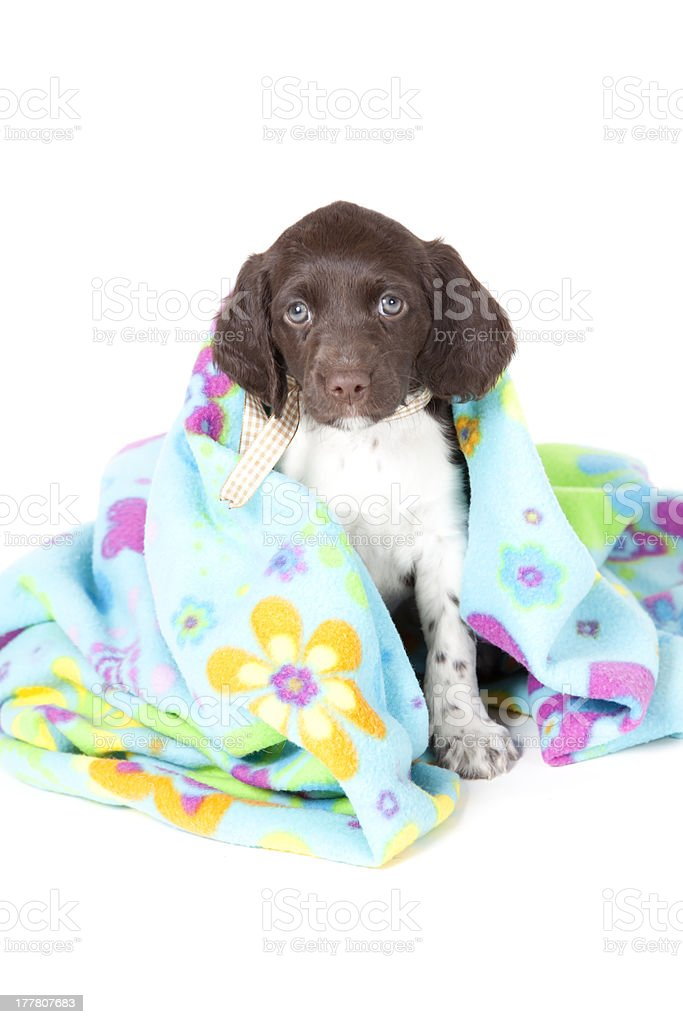 Small Munsterlander puppy with blanket stock photo