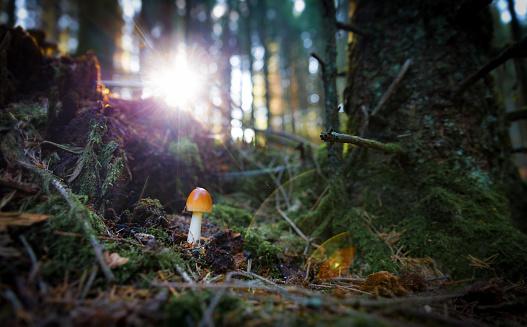 istock Small mushroom in dramatic bak lit light, sunset 857005470