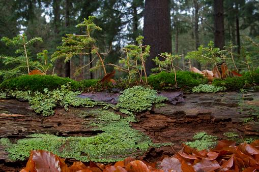 Small mushrooms and moss on dead fallen tree