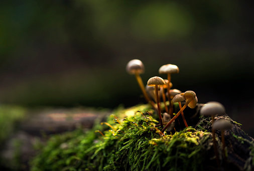 istock Small mushrooms growing on a moss 858905890