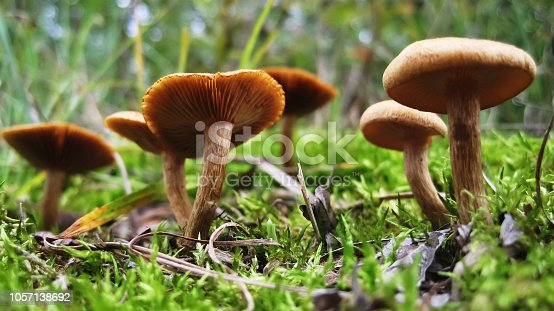 Bunch of small brown mushrooms growing out of green, soft moss