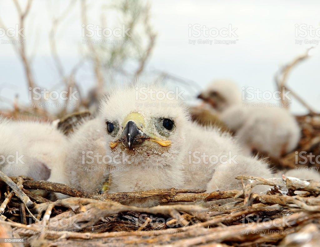 small nestling Long legged Buzzard stock photo