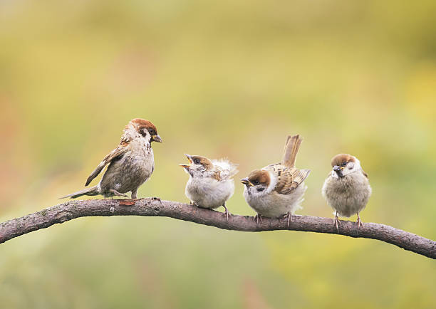 small nestlings and the parent  sitting  beaks Agape stock photo