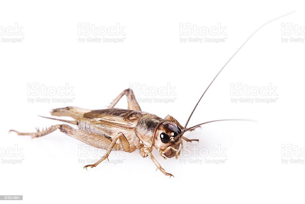 small & nice cricket beetle royalty-free stock photo