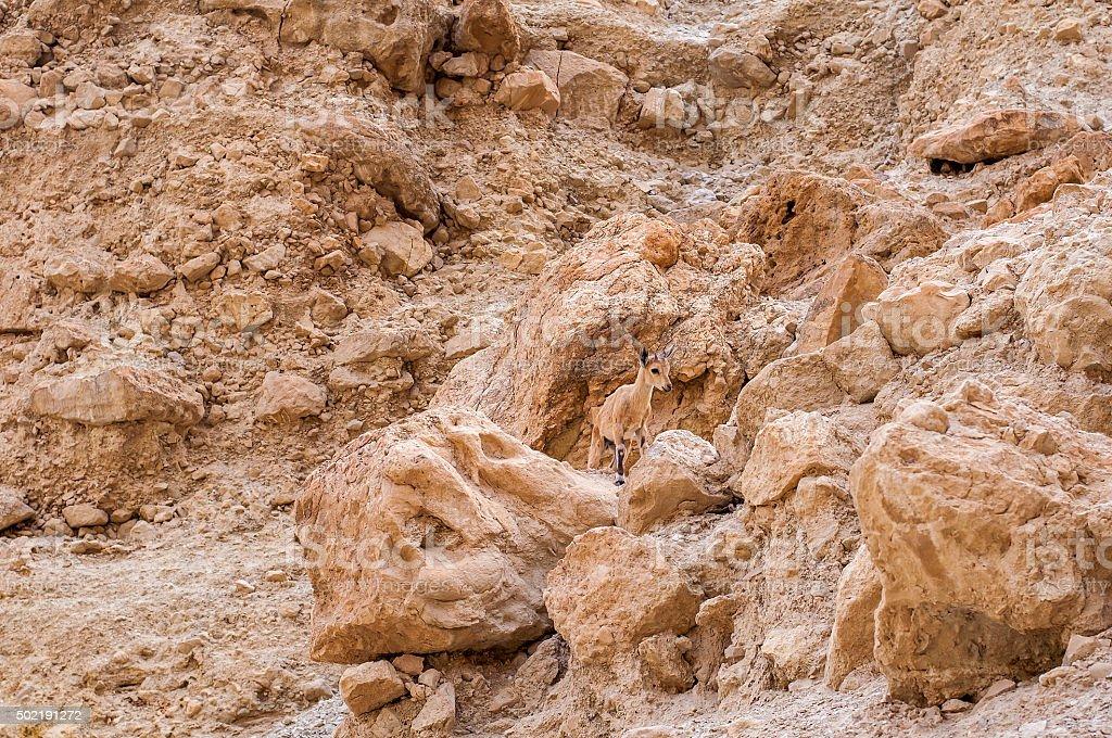 Small Nubian Ibex stock photo