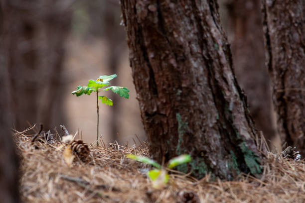 Small oak plant in a forest. between the pine needles and pine cones Highly lighted oak leaves next to thick trunk of spruce.Seedlings or plants illuminated by the side light. sapling stock pictures, royalty-free photos & images