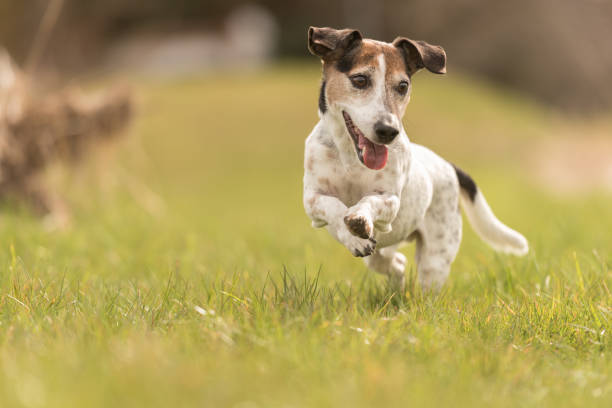 Small old dog running across the meadow fast jack russell terrier 10 picture id940704818?b=1&k=6&m=940704818&s=612x612&w=0&h=070eyt7 7wgxpuxeowsfeuoabkm9nmj ghs2uvoemie=
