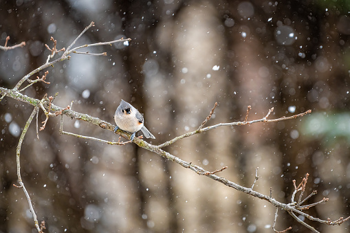 Small one tufted titmice titmouse tit bird perched on tree branch in Virginia in cold winter snow with bokeh background