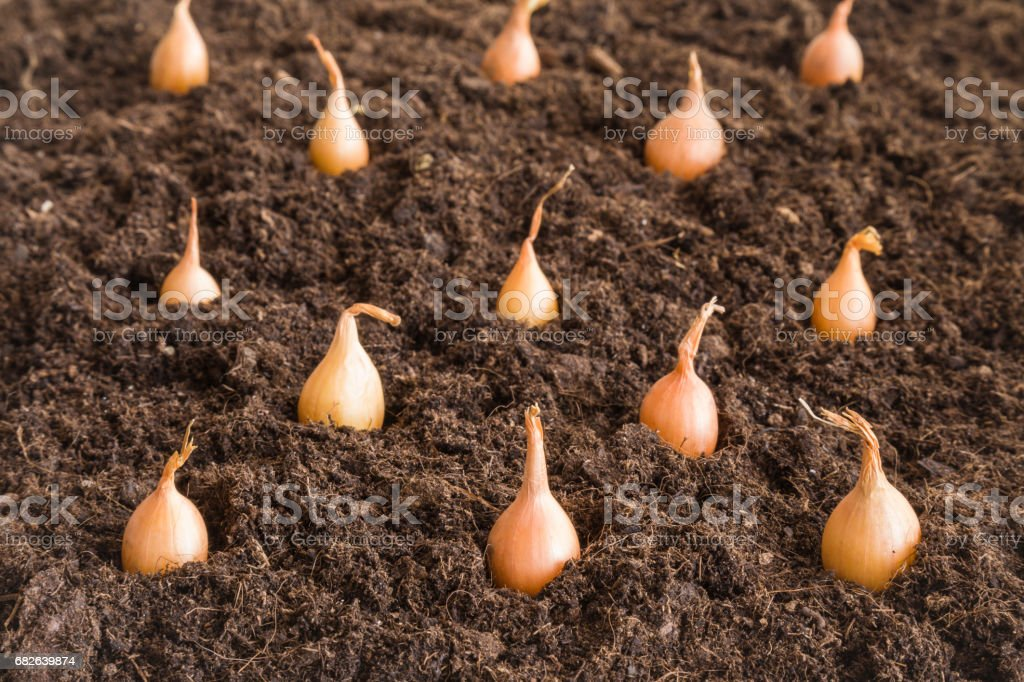 Small onions planting in the ground. Early spring preparations for the garden season. stock photo