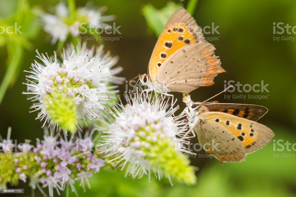 Small or common copper butterfly lycaena phlaeas closeup stock photo