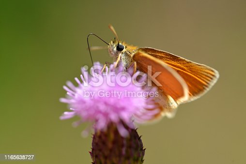 Small orange butterfly Essex Skipper (Thymelicus lineola) sitting on a thistle flower.