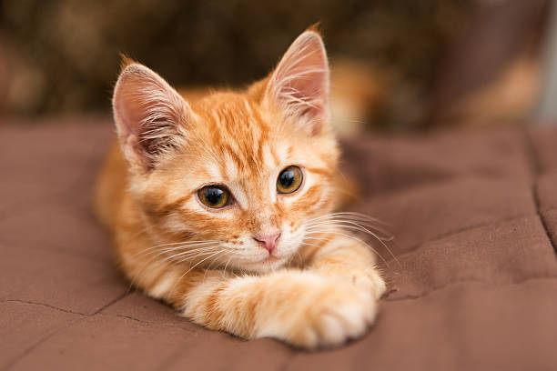 Small orange kitten lie on the bed picture id465257035?b=1&k=6&m=465257035&s=612x612&w=0&h=0e5075r24gphyivau8 aixd42yde4xcb8h2jlewr0ac=