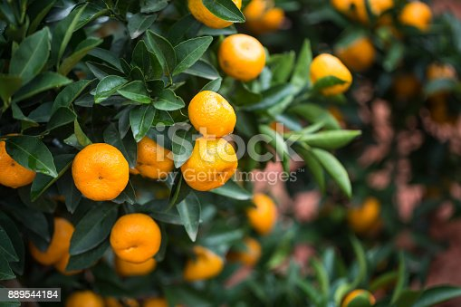 Ripe tangerines on a large background of green leaves