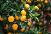 small oranges grow in the tree in autumn