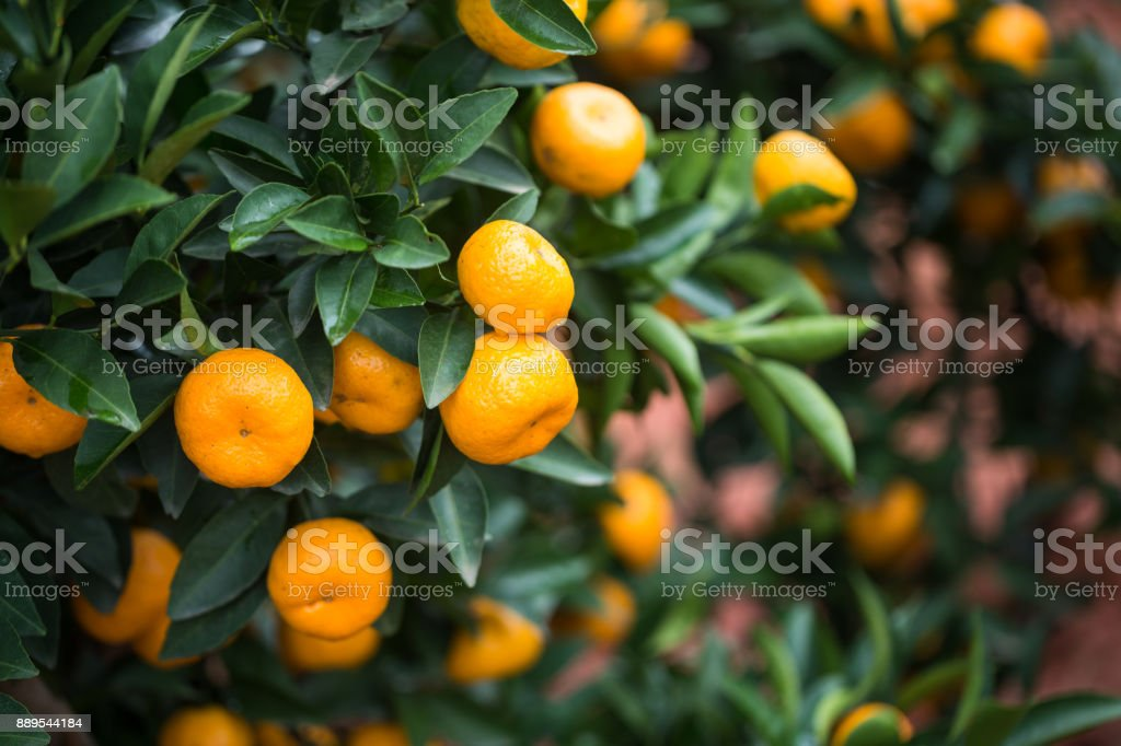 small oranges grow in the tree in autumn stock photo