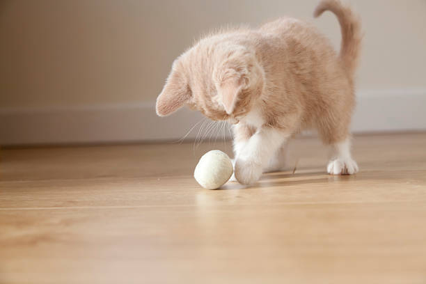 Small pale ginger and white kitten playing with ball picture id184861762?b=1&k=6&m=184861762&s=612x612&w=0&h=t633cvr18zfezlckpg1sg4epztigardd4svs5dagi 0=