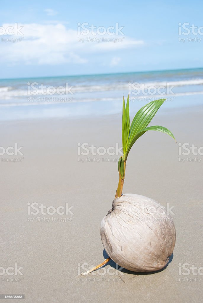 Small palm tree growing on empty tropical beach royalty-free stock photo
