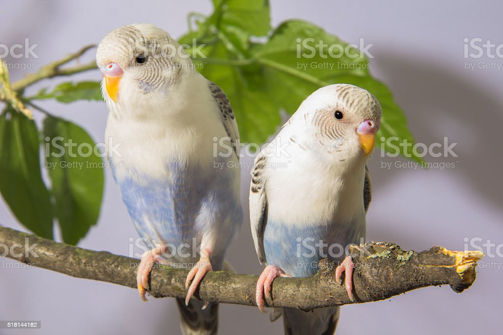 small parrots sitting on tree branch stock photo