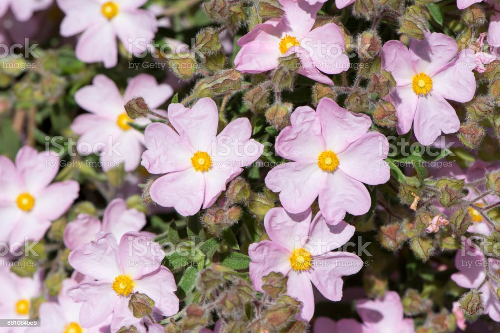 Small Pastel Pink Cistus flowers stock photo