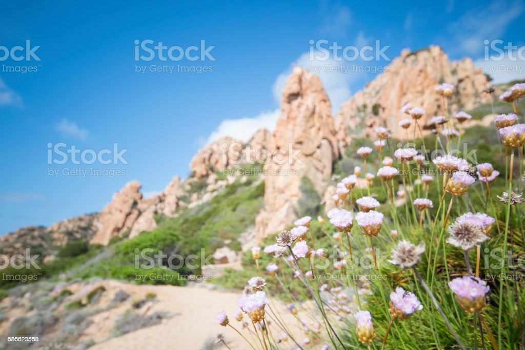 Small pathway to the beach surrounded by beautiful pink flowers. (selective focus) royalty-free stock photo
