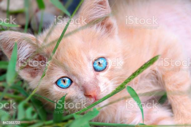 Small peachcolored kitten with blue eyes lies in the green grass picture id842353722?b=1&k=6&m=842353722&s=612x612&h=n9fjeboy13un3elo0prnm bypaagubfzzqocuv23oek=