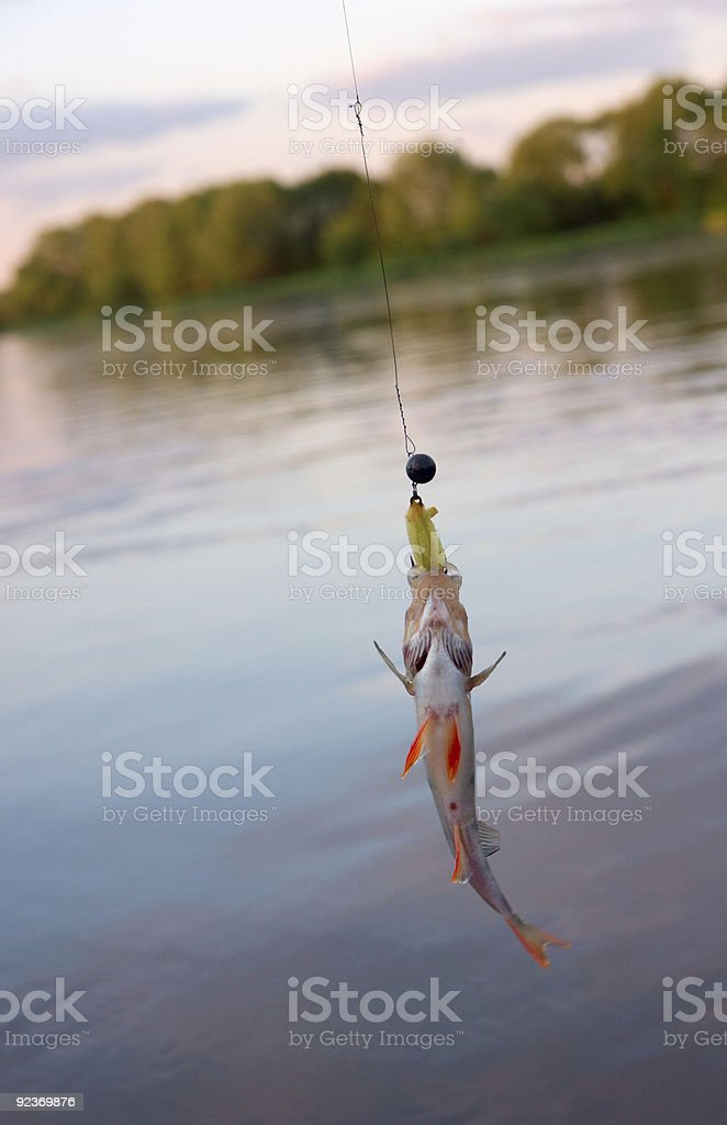 Small perch caught on original russian porolonka jig lure royalty-free stock photo