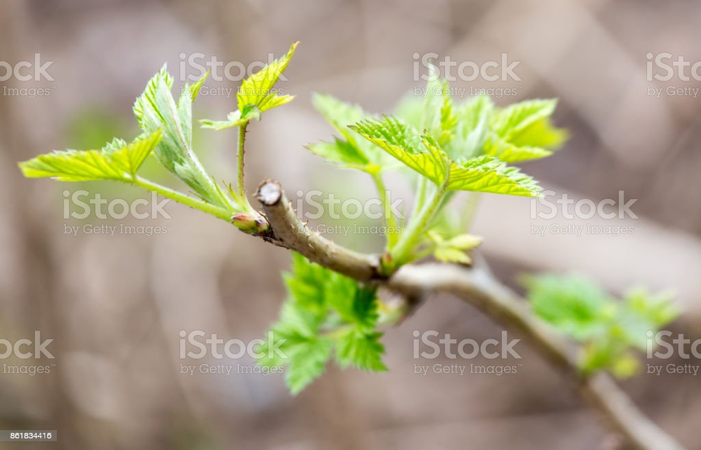 small pieces of raspberry spring stock photo
