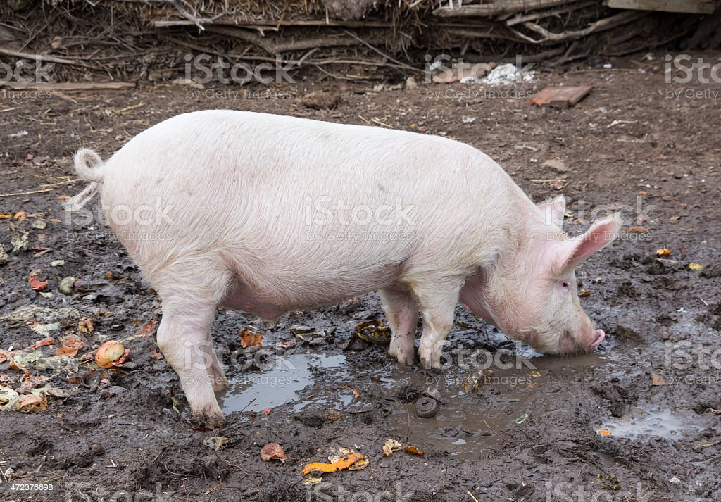 Small pig eats standing in mud stock photo