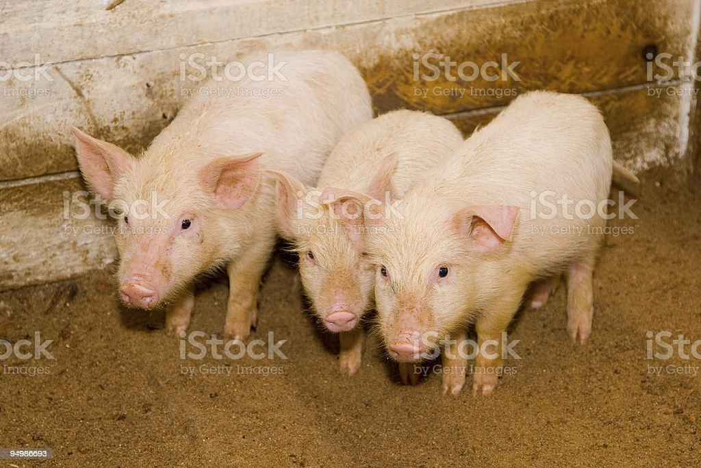 Small pig on a farm royalty-free stock photo