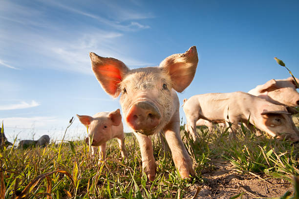 small pig - pig farm stockfoto's en -beelden