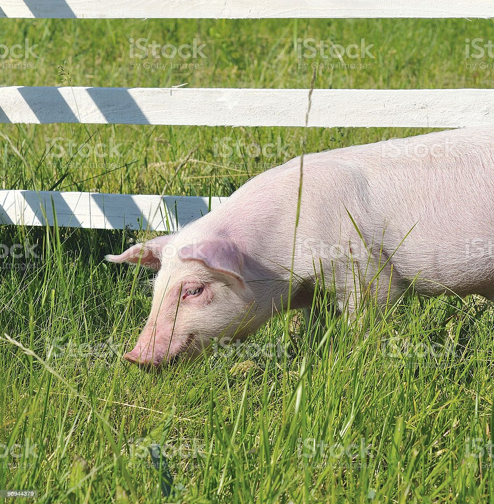 small pig royalty-free stock photo