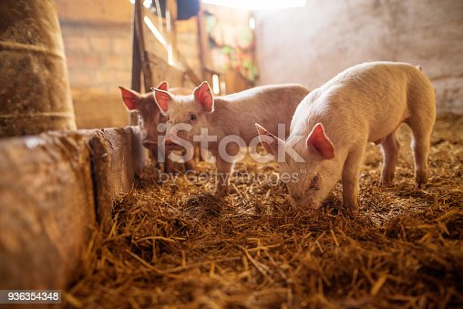 A small piglet in the farm. Swine in a stall. Shallow depth of field.
