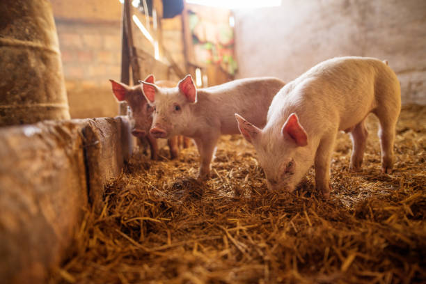 A small piglet in the farm. Swine in a stall. Shallow depth of field. stock photo