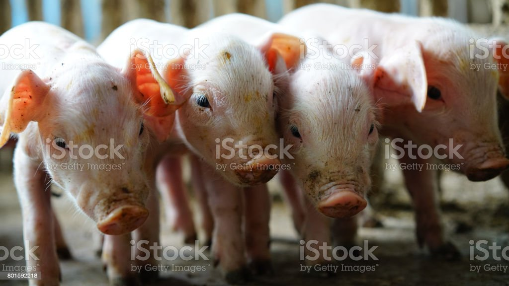 Small pigs in the farm stock photo