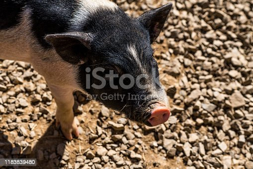 picture of small pigs