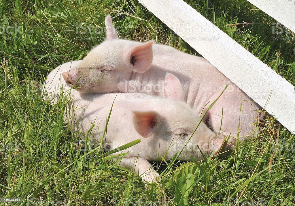 small pigs royalty-free stock photo