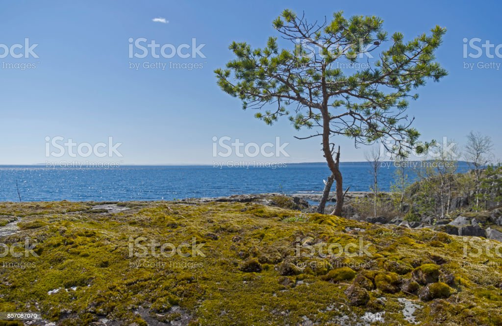 A small pine on the shore of Ladoga Lake. stock photo